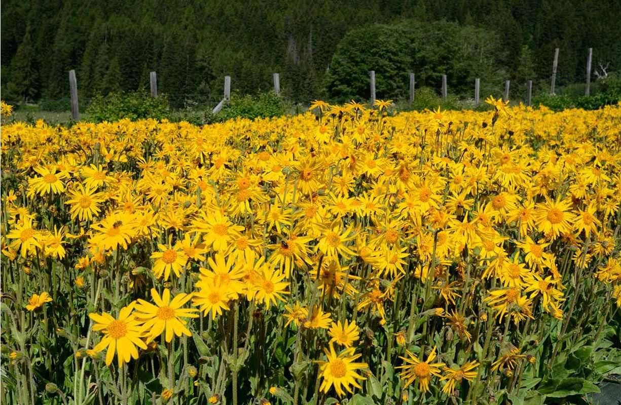 Arnica Montana: un rimedio naturale dalle proprietà analgesiche e antinfiammatorie